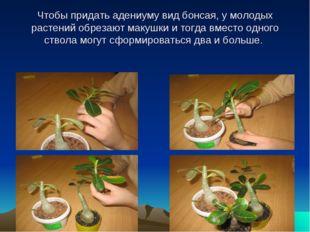 Чтобы придать адениуму вид бонсая, у молодых растений обрезают макушки и тог
