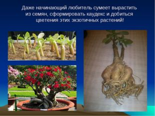 Даже начинающий любитель сумеет вырастить из семян, сформировать каудекс и до