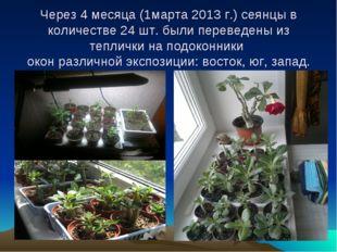 Через 4 месяца (1марта 2013 г.) сеянцы в количестве 24 шт. были переведены и