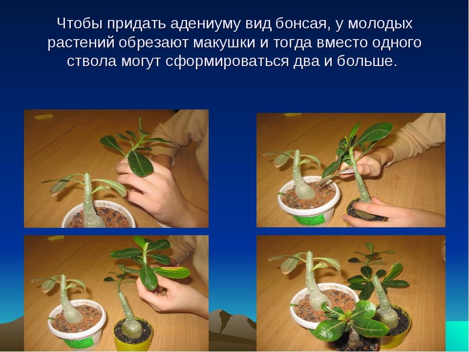 Чтобы придать адениуму вид бонсая, у молодых растений обрезают макушки и тог...