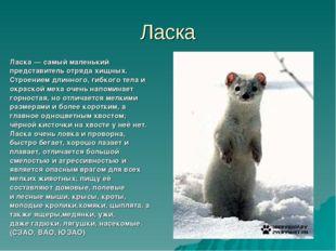 Ласка Ласка— самый маленький представитель отрядахищных. Строением длинного