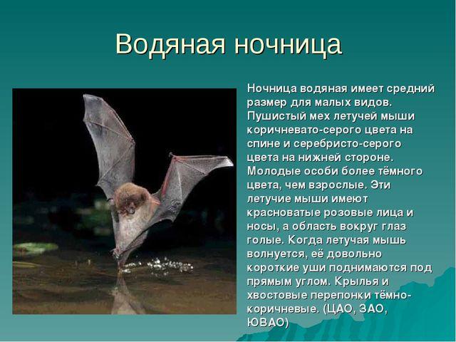 Водяная ночница Ночница водяная имеет средний размер для малых видов. Пушисты...