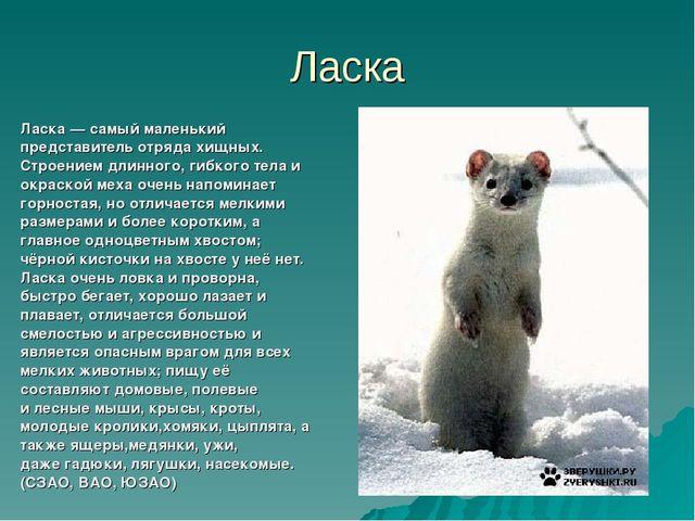 Ласка Ласка— самый маленький представитель отрядахищных. Строением длинного...