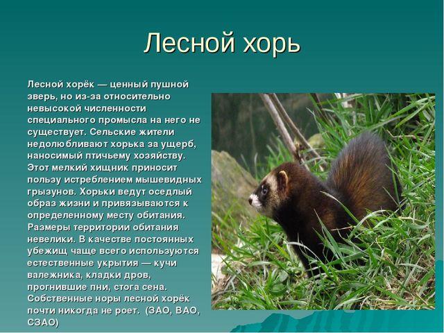 Лесной хорь Лесной хорёк— ценный пушной зверь, но из-за относительно невысок...