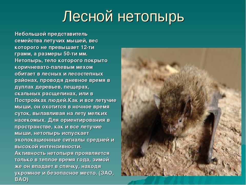 Лесной нетопырь Небольшой представитель семейства летучих мышей, вес которого...