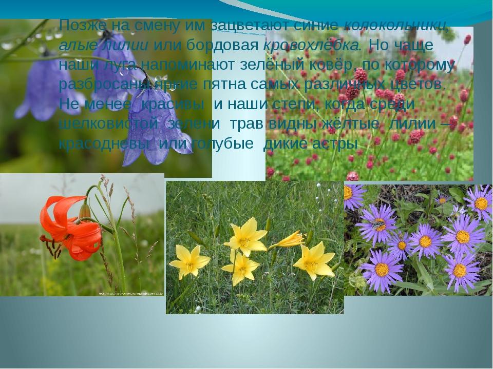 Позже на смену им зацветают синие колокольчики, алые лилии или бордовая крово...