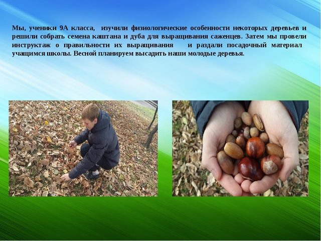 Мы, ученики 9А класса, изучили физиологические особенности некоторых деревье...