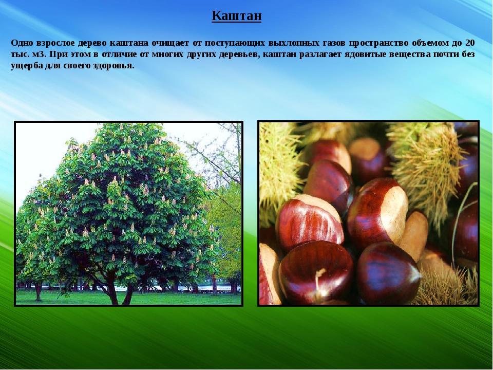 Каштан Одно взрослое дерево каштана очищает от поступающих выхлопных газов пр...