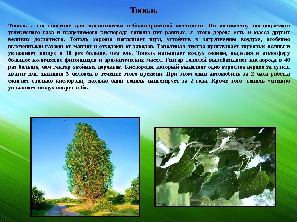 Тополь Тополь - это спасение для экологически неблагоприятной местности. По к...