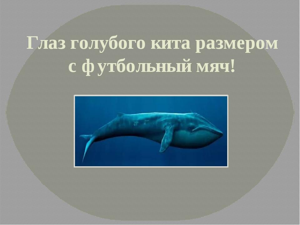 Глаз голубого кита размером с футбольный мяч!