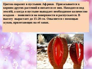 Цветок-паразит в пустынях Африки. Присасывается к корням других растений и пи