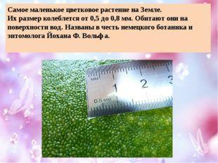 Самое маленькое цветковое растение на Земле. Их размер колеблется от 0,5 до 0