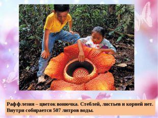 Раффлезия – цветок вонючка. Стеблей, листьев и корней нет. Внутри собирается