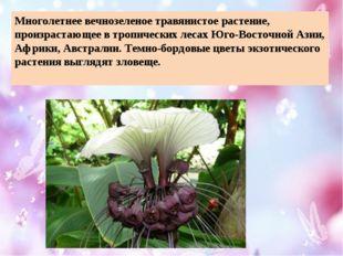 Многолетнее вечнозеленоетравянистое растение, произрастающее в тропических л