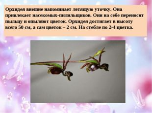 Орхидея внешне напоминает летящую уточку. Она привлекает насекомых-пилильщико