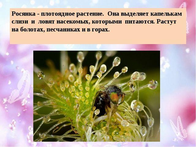 Росянка - плотоядное растение. Она выделяет капелькам слизи и ловят насекомых...