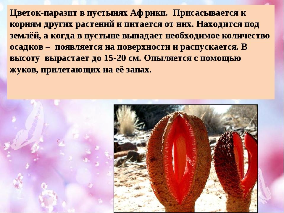 Цветок-паразит в пустынях Африки. Присасывается к корням других растений и пи...