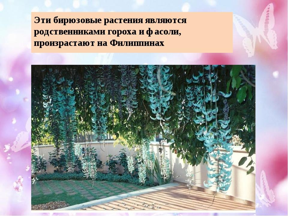 Эти бирюзовые растения являются родственниками гороха и фасоли, произрастают...