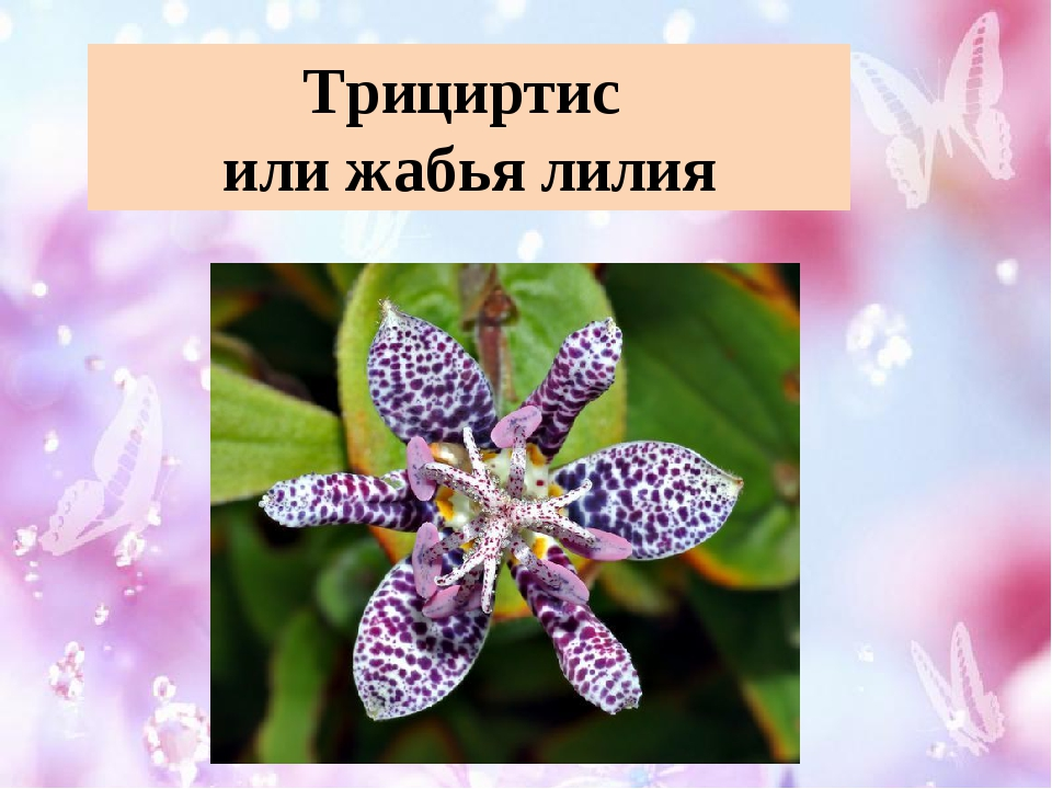 Трициртис или жабья лилия