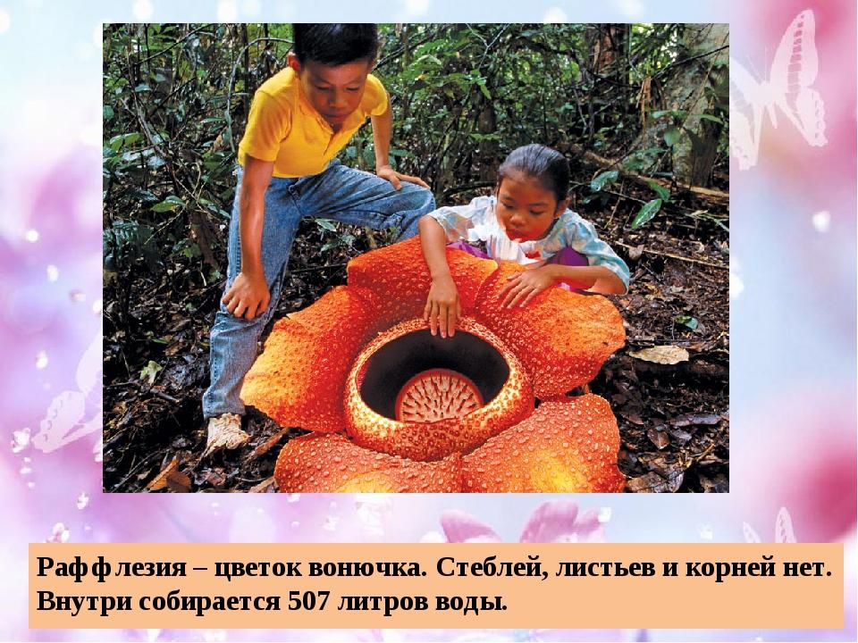 Раффлезия – цветок вонючка. Стеблей, листьев и корней нет. Внутри собирается...
