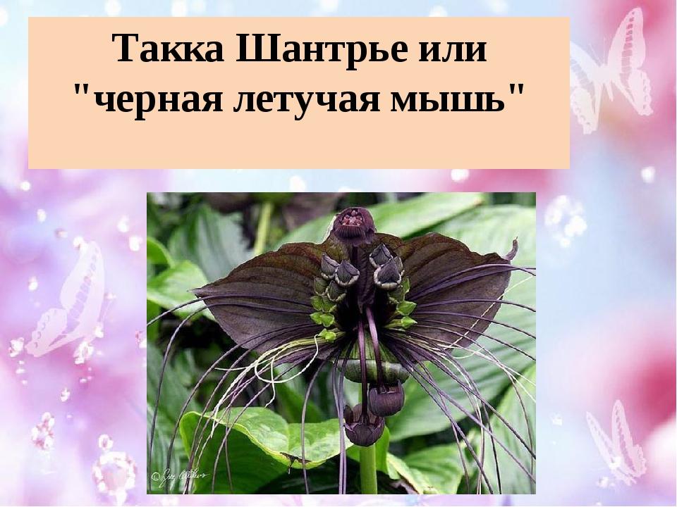"""Такка Шантрье или """"черная летучая мышь"""""""
