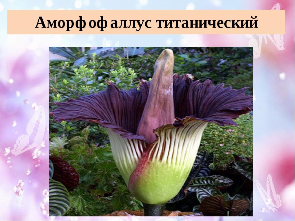 Аморфофаллус титанический