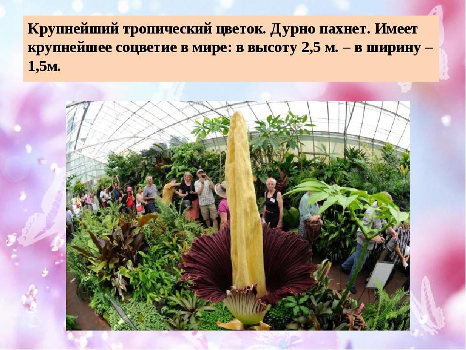 Крупнейший тропический цветок. Дурно пахнет. Имеет крупнейшее соцветие в мире...