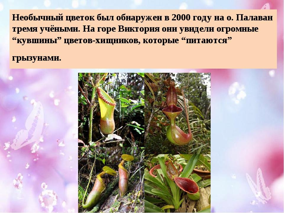 Необычный цветок был обнаружен в 2000 году на о. Палаван тремя учёными. На го...