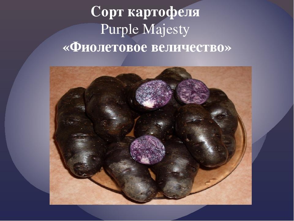 Сорт картофеля Purple Majesty «Фиолетовое величество»