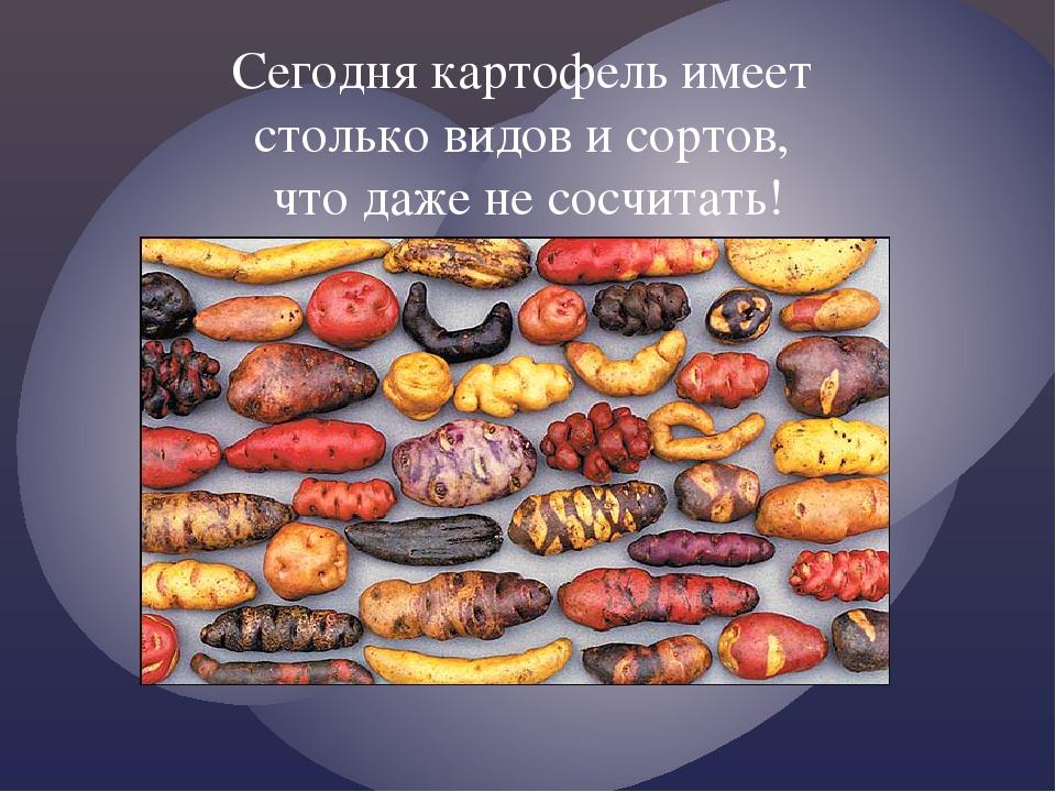 Сегодня картофель имеет столько видов и сортов, что даже не сосчитать!