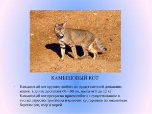 КАМЫШОВЫЙ КОТ Камышовый кот крупнее любого из представителей домашних кошек: