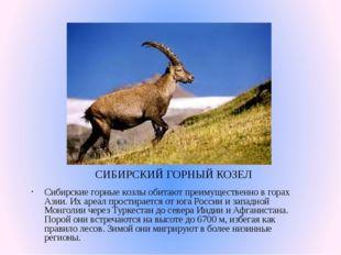СИБИРСКИЙ ГОРНЫЙ КОЗЕЛ Сибирские горные козлы обитают преимущественно в горах