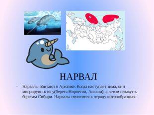 НАРВАЛ Нарвалы обитают в Арктике. Когда наступает зима, они мигрируют к югу(б