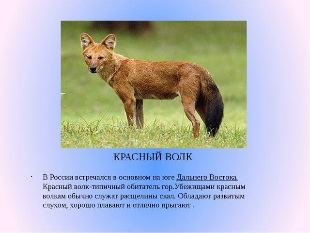КРАСНЫЙ ВОЛК В России встречался в основном на югеДальнего Востока. Красный...