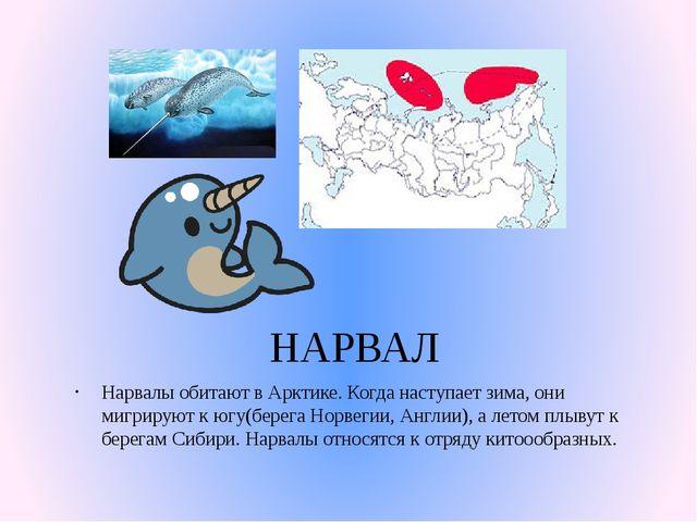 НАРВАЛ Нарвалы обитают в Арктике. Когда наступает зима, они мигрируют к югу(б...