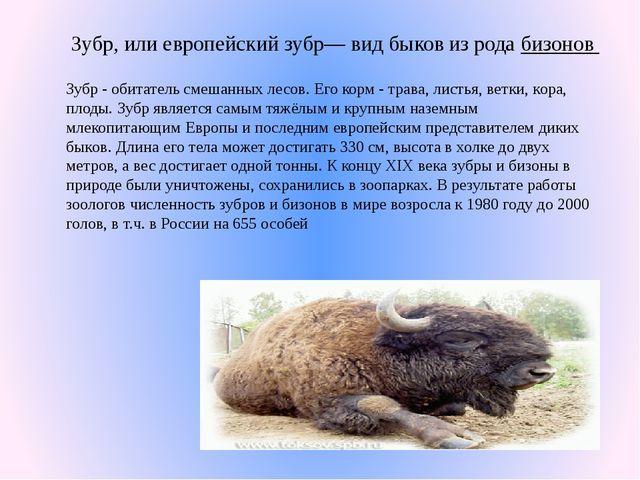 Зубр, или европейский зубр— вид быков из рода бизонов Зубр - обитатель смешан...