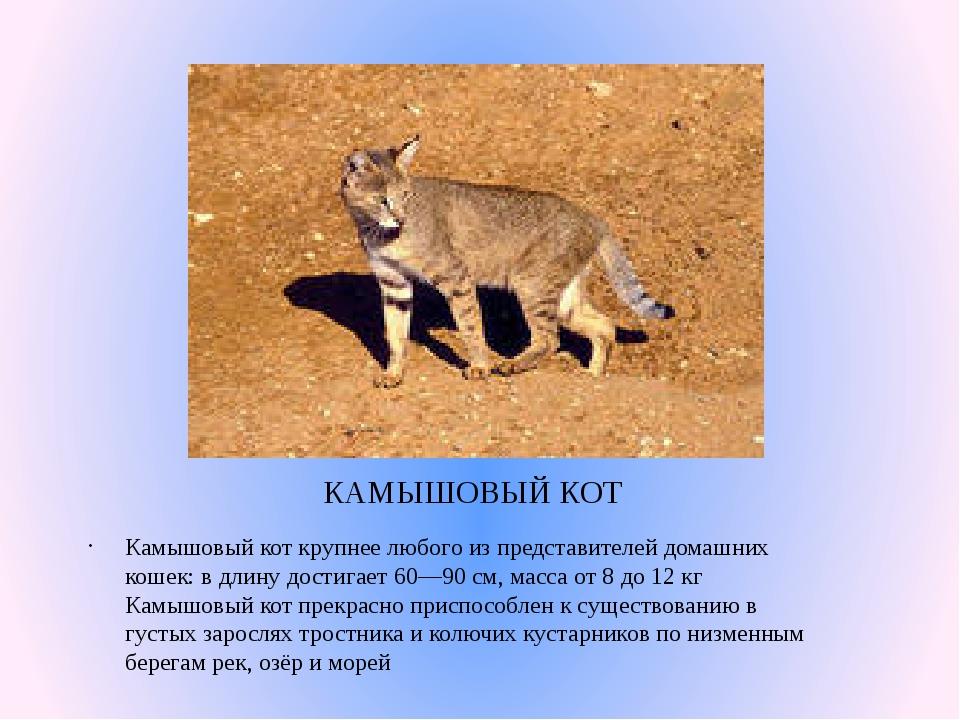 КАМЫШОВЫЙ КОТ Камышовый кот крупнее любого из представителей домашних кошек:...