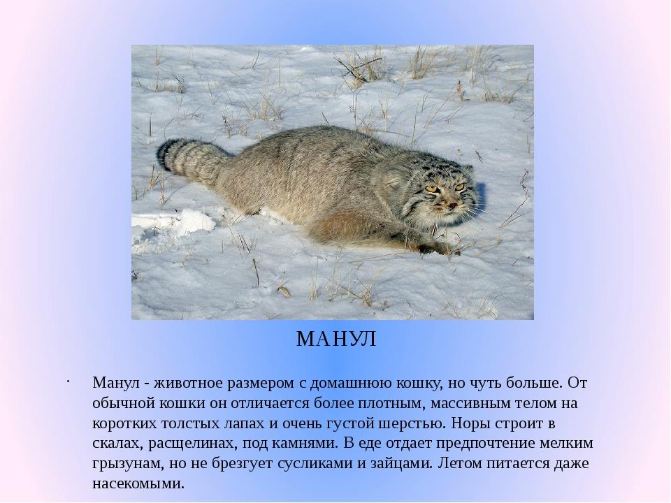 МАНУЛ Манул- животное размером с домашнюю кошку, но чуть больше. От обычной...