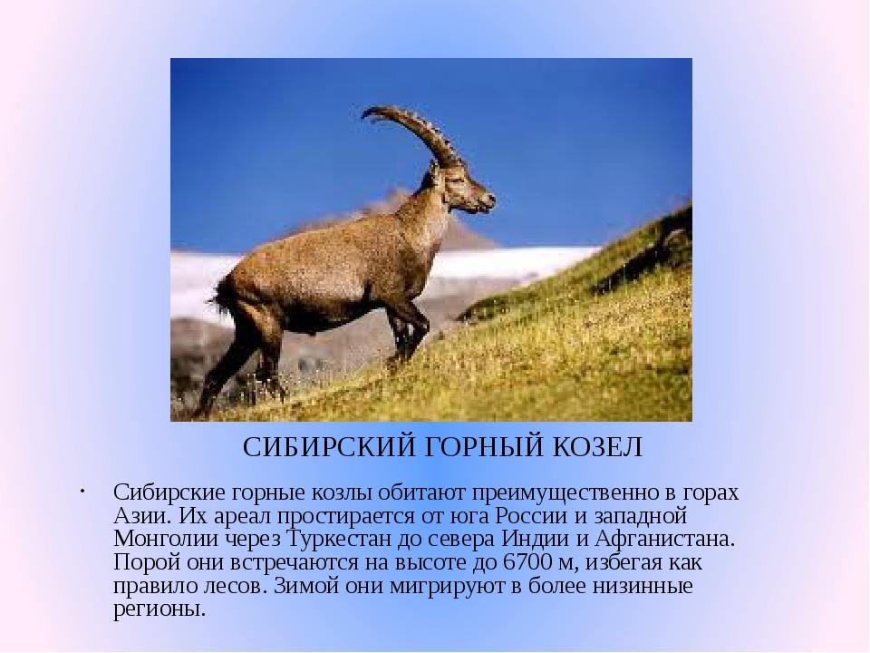 СИБИРСКИЙ ГОРНЫЙ КОЗЕЛ Сибирские горные козлы обитают преимущественно в горах...