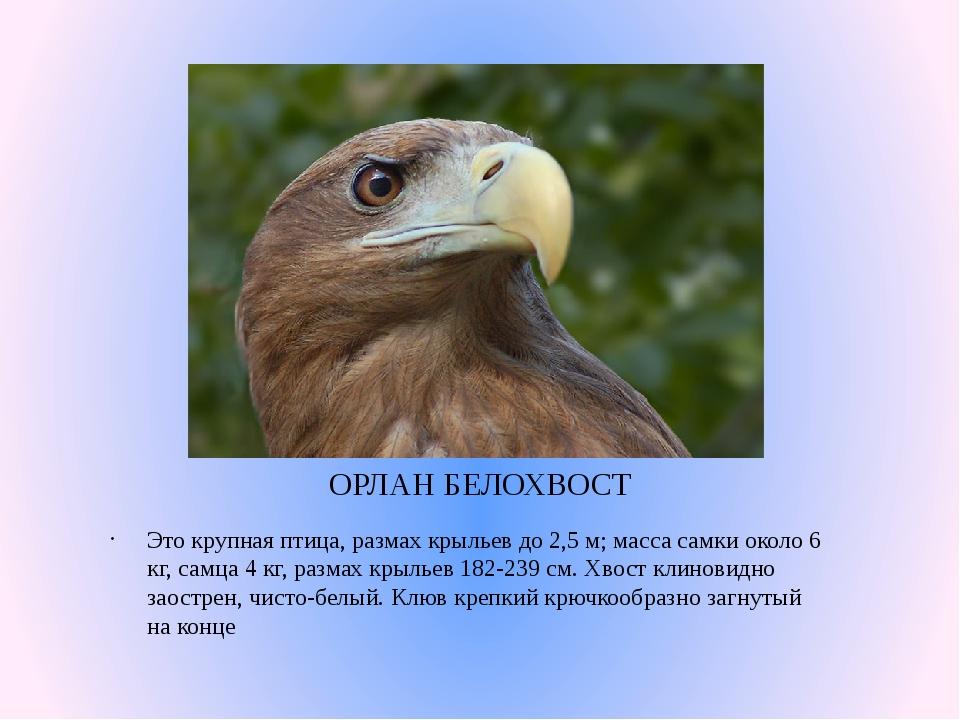 ОРЛАН БЕЛОХВОСТ Это крупная птица, размах крыльев до 2,5 м; масса самки около...