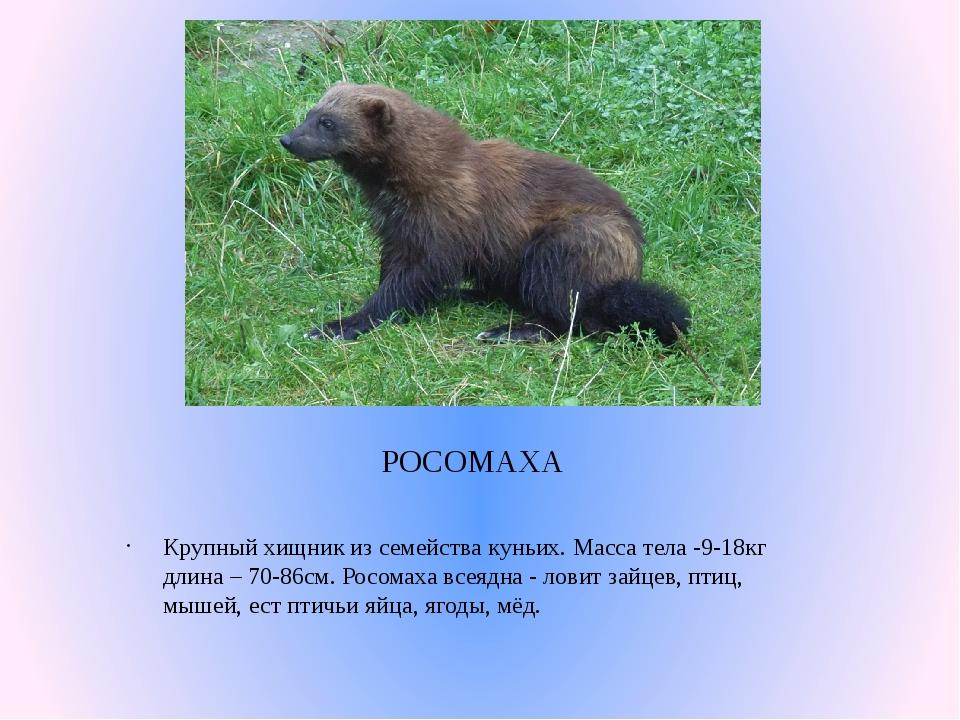 РОСОМАХА Крупный хищник из семейства куньих. Масса тела -9-18кг длина – 70-86...