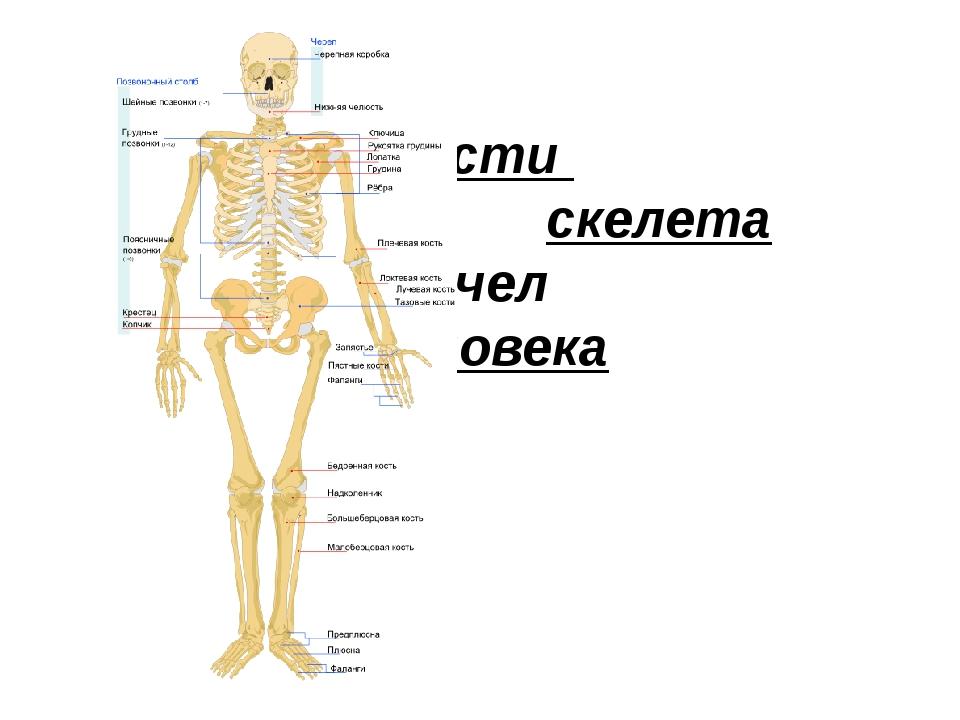 Кости скелета чел человека