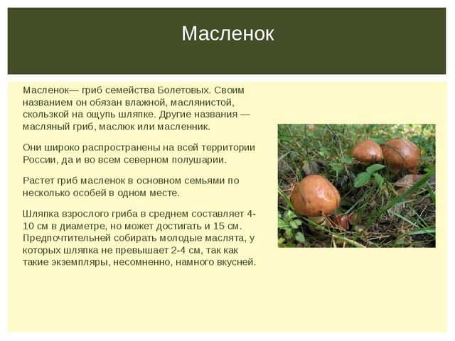 Масленок— гриб семейства Болетовых. Своим названием он обязан влажной, маслян...