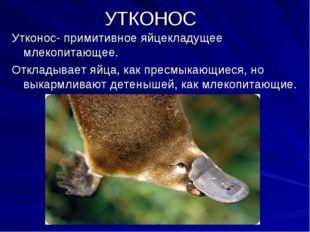 УТКОНОС Утконос- примитивное яйцекладущее млекопитающее. Откладывает яйца, ка