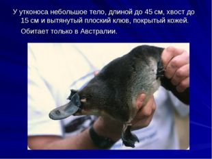 У утконоса небольшое тело, длиной до 45 см, хвост до 15 см и вытянутый плоски