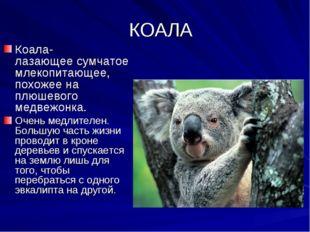 КОАЛА Коала- лазающее сумчатое млекопитающее, похожее на плюшевого медвежонк