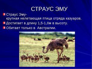 СТРАУС ЭМУ Страус Эму- крупная нелетающая птица отряда казуаров. Достигает в