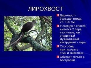 ЛИРОХВОСТ Лирохвост- большая птица, 75- 130 см. У самцов в хвосте имеется 2 п