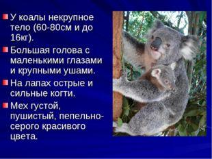 У коалы некрупное тело (60-80см и до 16кг). Большая голова с маленькими глаза
