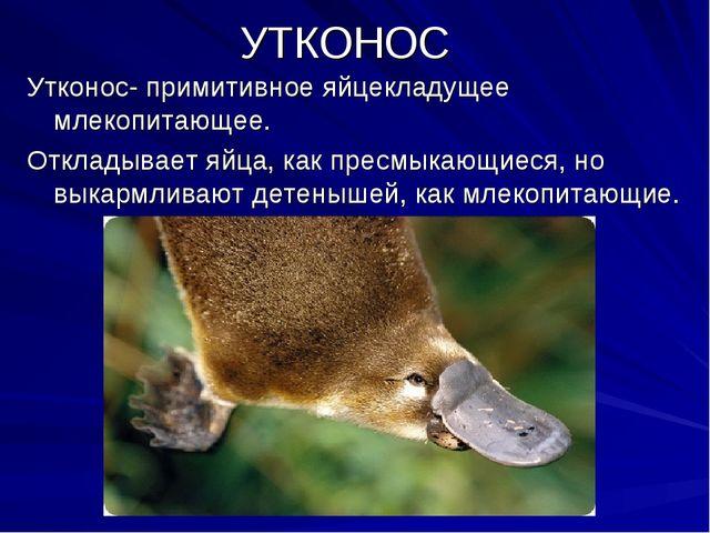 УТКОНОС Утконос- примитивное яйцекладущее млекопитающее. Откладывает яйца, ка...
